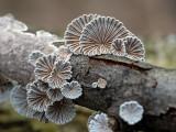 Common Split Gill Mushroom and Giraffe Spots Fungus