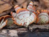 False Turkey Tail Mushroom