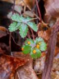 Rust Fungus  Common Cinquefoil