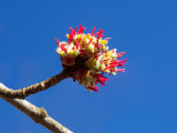 Silver Maple Tree Flowers