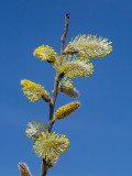 Willow Tree Flower