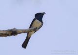 Satin Flycatcher - Myiagra cyanoleuca