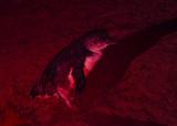 Little Penguin - Eudyptula minor