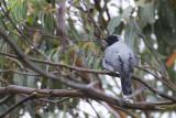 Black-faced Cuckooshrike - Coracina novaehollandiae