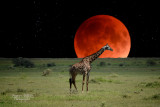 :: Safari en Tanzanie  2016 ::