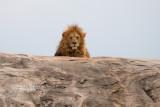 :: Lion ::