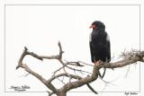 :: Oiseaux de Tanzanie ::