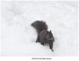Black Squirrel .jpg