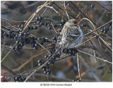4724 Common Redpoll.jpg
