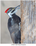 5928 Pileated Woodpecker.jpg