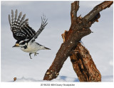 4684 Downy Woodpecker.jpg