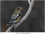 7682 Evening Grosbeak.jpg