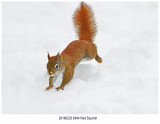 6494 SERIES - Red Squirrel .jpg