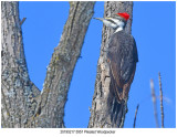 5957 Pileated Woodpecker.jpg