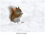 6511 Red Squirrel.jpg