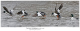 7172 7184 Common Goldeneye_r1.jpg