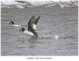 7244 Common Goldeneye.jpg
