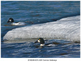 8374 8391 Common_Goldeneye.jpg