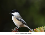 6958 Black-capped Chickadee.jpg