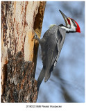 8686 Pileated Woodpecker.jpg