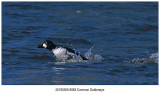 8083 Common Goldeneye.jpg