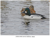 8455 Common Goldeneye Mallard.jpg