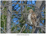 0326 Redtailed Hawk.jpg