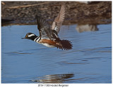 201904131 1365 Hooded Merganser2.jpg