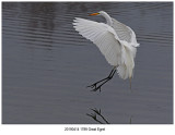 1789 Great Egret r1.jpg