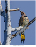 1386 Northern Flicker.jpg