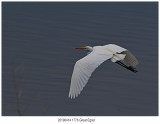 1776 Great Egret.jpg
