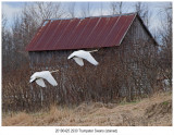 2930 stained Trumpeter Swans.jpg