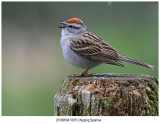 5015 Chipping Sparrow.jpg
