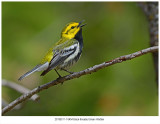 6454 Blackthroated Green Warbler.jpg