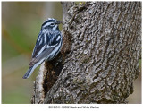 6352 Black and White Warbler.jpg