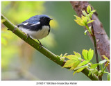 7800 Black-throated Blue Warbler.jpg