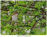 0781 Black-billed Cuckoo.jpg