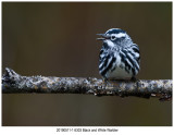 6303 Black and White Warbler.jpg