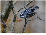 6409 Black and White Warbler.jpg