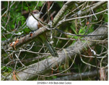 4184 SERIES -  Blackbilled Cuckoo.jpg