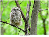 6683 Barred Owl.jpg