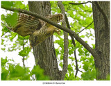 20190604 4701 SERIES -  Barred Owl.jpg