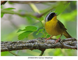 20190522 9912 Common Yellowthroat.jpg