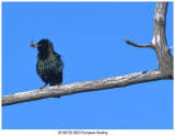 20190702 8833 SERIES -  European Starling.jpg