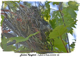 20130722 242 SERIES - Eastern kingbird.jpg