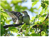 20190714 9299 Eastern Kingbird.jpg