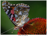 201908012 1801 Painted Lady.jpg