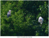 20190801 1051 Great Blue Heron & Great Egret.jpg