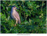 20190802 1900 Blackcrowned Night Heron.jpg