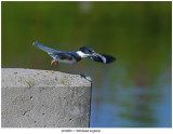 20190801-1 1508 SERIES - Belted Kingfisher.jpg